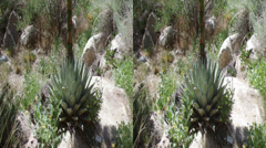 Blue agave yucca flower 3d Stock Footage