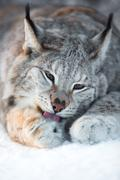 Lynx cleaning paws in snow - stock photo