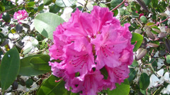 Flowers of rhododendron in the Groenenberg park. Stock Footage