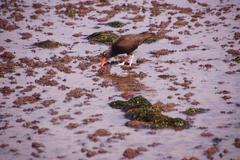 American oystercatcher walking in tide pools Stock Photos