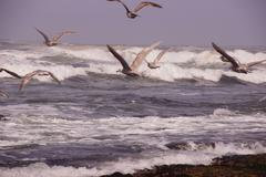 seagulls flying out over incoming surf - stock photo