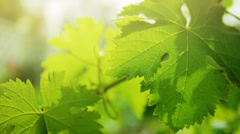 Grapevine leaves in vineyard blown by the wind. Leaf Closeup. Stock Footage