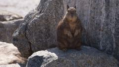 Beechey ground squirrel sitting on rock stands up 4k Stock Footage
