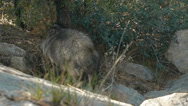 Stock Video Footage of Javelina eating and gets spooked