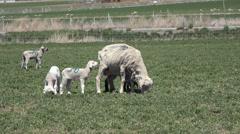 Sheep lambs in farm field rural community HD 034 Stock Footage