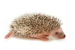 Baby pygmy hedgehog Stock Photos