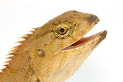 closeup lizard small reptile - stock photo