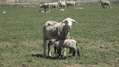 Sheep ewe and lambs meadow pasture HD 029 Stock Footage
