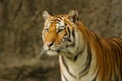 Bengal tiger standing on the rock Stock Photos