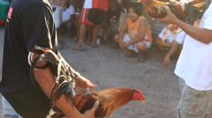 Philippine traditional cock fighting in island Malapascua Stock Footage