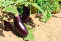 Stock Photo of Eggplant fruits growing in the garden
