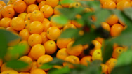 Stock Video Footage of mandarines lie on a counter