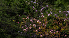 Magnolia bush Stock Footage