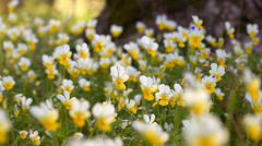 Spring flowers in the wood. Stock Footage