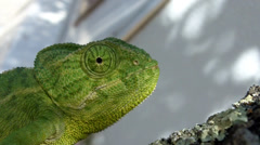 Green Chameleon Climbing, Close-Up Stock Footage