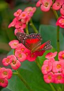 Scarlet Swallowtail Butterfly on Crown of Thorns Flowers Stock Photos