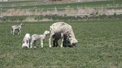 Sheep lambs in farm field rural community 4K 034 Stock Footage