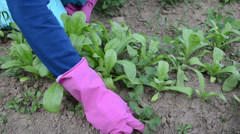 Farmer hands in rubber gloves grub up weeds marigold plants Stock Footage