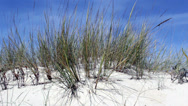 Stock Video Footage of Beachgrass - Ammophila arenaria A - Algarve