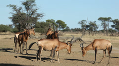 Red hartebeest herd Stock Footage