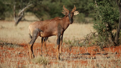 Tsessebe antelopes Stock Footage