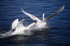 Two white young swans Stock Photos