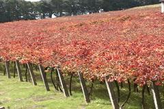 Vineyard autum SD-01 - stock footage