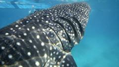 Whale shark gills filtering water - stock footage