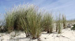 Beachgrass - Ammophila arenaria B - Algarve Stock Footage