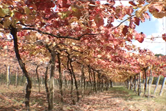 Vineyard autum SD-03 - stock footage