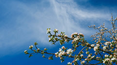 White blooming apple tree branch twig and clouds passing on background sky. - stock footage