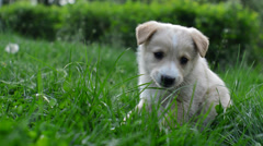 Funny puppy on a green lawn Stock Footage