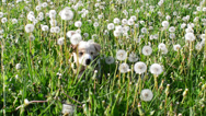 Stock Video Footage of little puppy runs on a green lawn with dandelions