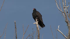 P03591 Turkey Vulture Perched in Tree Snag Stock Footage