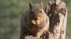 P03588 Fox Squirrel Feeding Filmed in 4k Stock Footage