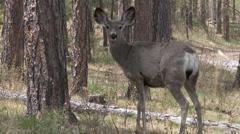 P03597 Mule Deer Doe Looking at Camera in Forest Stock Footage