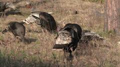 P03590 Wild Turkey Flock Feeding in Forest Filmed in 4K Stock Footage