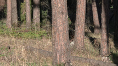 P03592 Wild Turkey Gobbler and Hen Filmed in Pine Forest in 4k Stock Footage