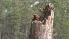 P03586 Red Crossbill Songbird Feeding on Stump in Pine Forest Stock Footage