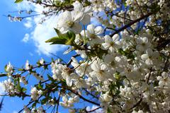 Apricot flowers and fragrance of spring - stock photo