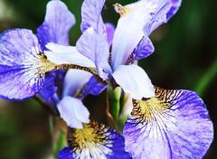 Beautiful bright irises Stock Photos