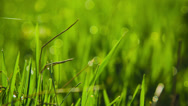 Stock Video Footage of Grass With Dew Background