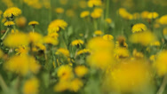 Stock Video Footage of Background From Dandelion, Movement of a Camera is Glide,