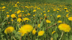 Background From Dandelion, Movement of a Camera is Glide, - stock footage