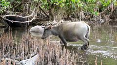 Water Buffalo, Indonesia, Asia Stock Footage