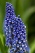 Grape hyacinth in flower with green background Stock Photos