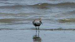 Sandpipers Whimbrels and Dunlin and Other Shorebirds On a Beach Stock Footage
