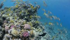 Approach to school of snapper & coral reef - HD1080p Stock Footage