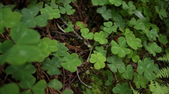 Four leaf clovers Stock Footage