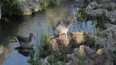 Details of two geese in a lake (goose) Stock Footage